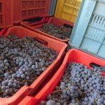 Vendemmia!小さな村のワイン用ブドウの収穫と農家の収穫の宴
