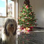 我が家のクリスマスツリーとコゼンツァの郷土食「クッドゥリ」